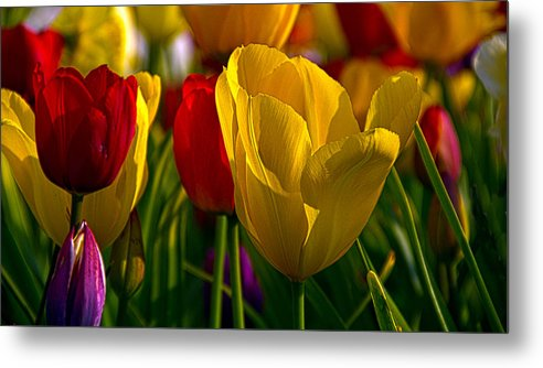 Horizons Metal Print featuring the photograph Tulips by Phil Koch