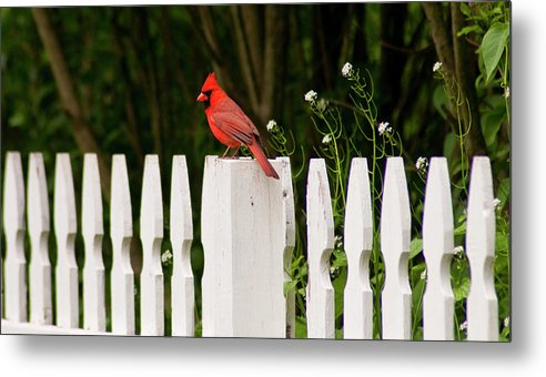 Cardinal Metal Print featuring the photograph Red Cardinal--white Fence by Carol A Commins