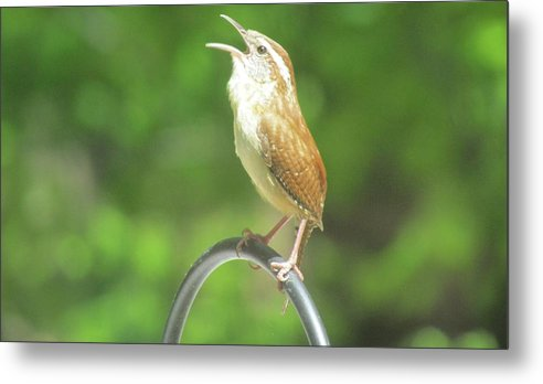 Nature Metal Print featuring the photograph Singing Wren by Gary Morgan