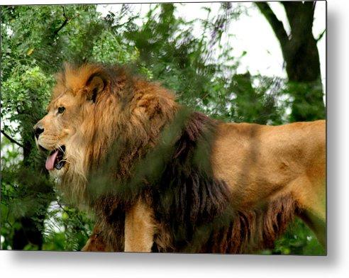 Lion Metal Print featuring the photograph Endless Pride by ShadowWalker RavenEyes Dibler
