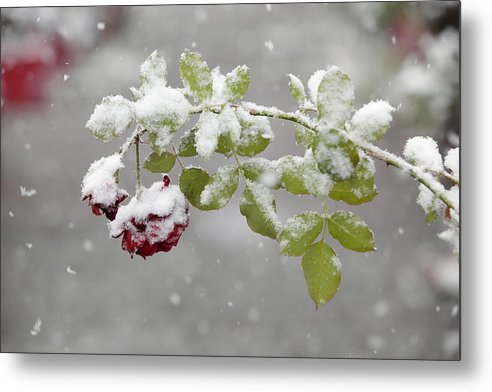 Flower Metal Print featuring the photograph October Snow by Tom Bushey