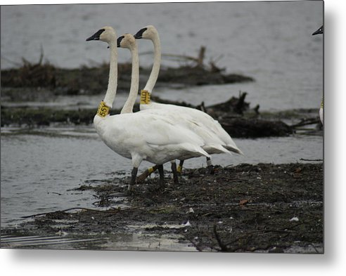 Trumpeter Swan Metal Print featuring the photograph Swans Line Dancing by Ron Read