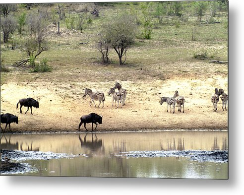 Zebra Metal Print featuring the photograph Watering Hole by Charles Ridgway