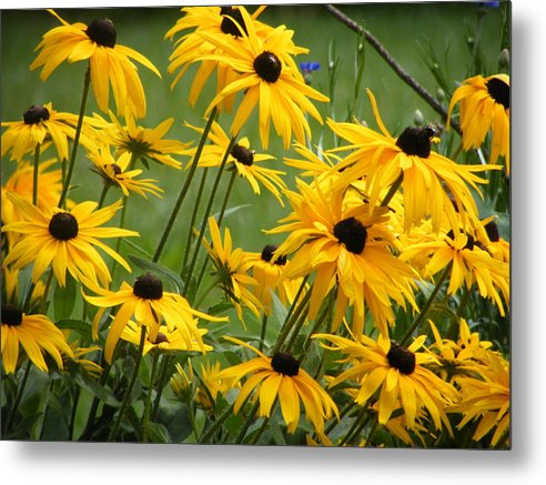 Flowers Metal Print featuring the photograph Gloriosa Daisies by Anna Dubon