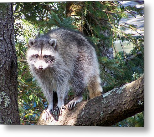 Racoon Metal Print featuring the photograph Treed by Mark Cheney