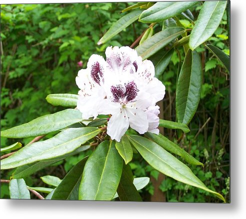 White Metal Print featuring the photograph White Rhodie by Mark Cheney