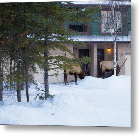 Elk Metal Print featuring the photograph Elk Come Calling by Jo-Anne Gazo-McKim