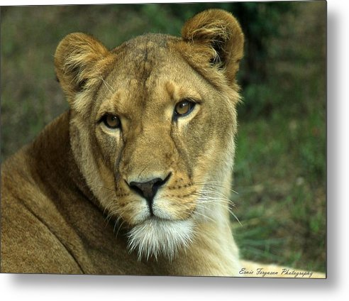 Animals Metal Print featuring the photograph Big Momma by Ernie Ferguson