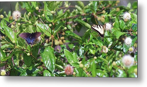 Butterfly Metal Print featuring the photograph 091707-1 Neighbors by Mike Davis