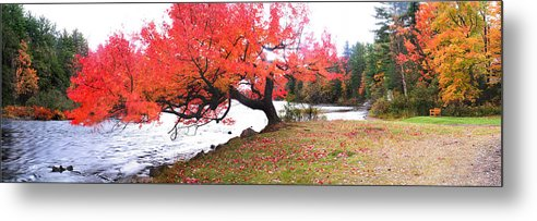 Light Metal Print featuring the photograph Panorama Of Red Maple Tree, Muskoka by Henry Lin
