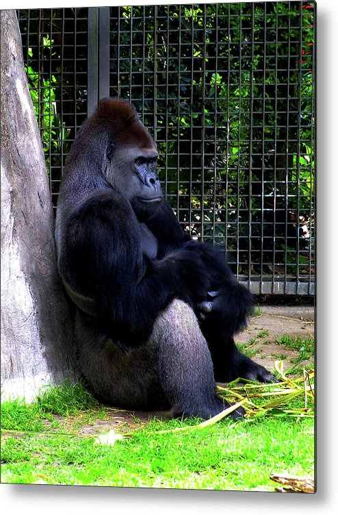 Ape Metal Print featuring the photograph And They Have Me In A Cage by Frances Hattier