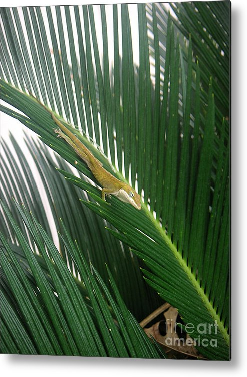 Nature Metal Print featuring the photograph Anole With Palm - Inquisitive by Lucyna A M Green