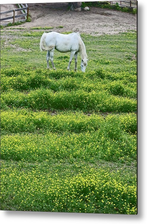 White Arabian Metal Print featuring the photograph Arabian by Beebe Barksdale-Bruner