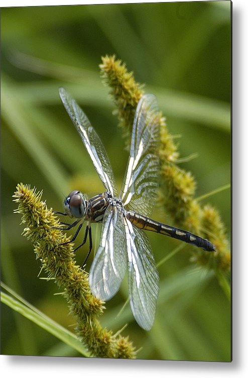 Dragonfly Metal Print featuring the photograph Blue Dasher Dragonfly-female by Neil Doren