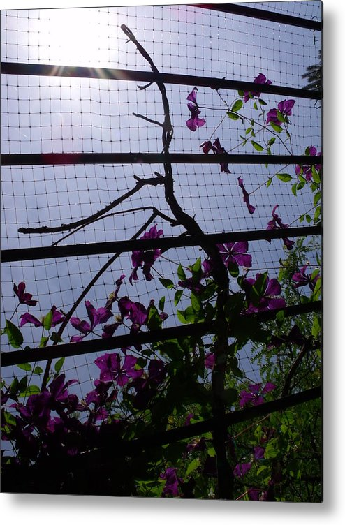 Purple Metal Print featuring the photograph Clematis II by Anna Villarreal Garbis