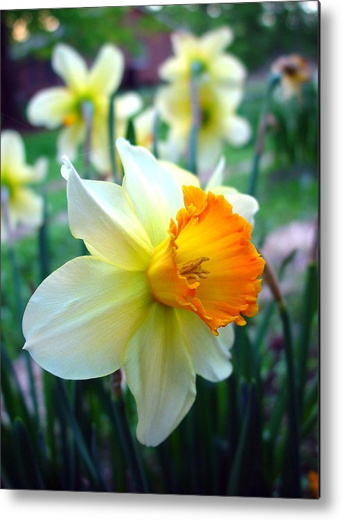 Daffodil Metal Print featuring the photograph Daffodil 2 by Sharon Crawford