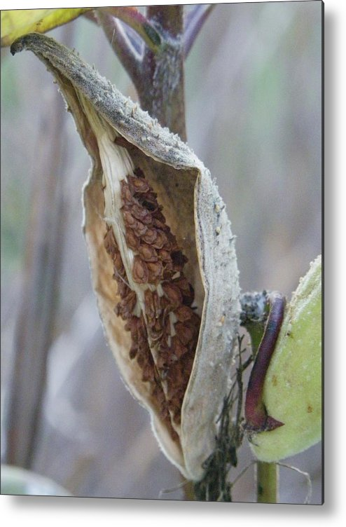 Nature Metal Print featuring the photograph Milkweed by Peggy King