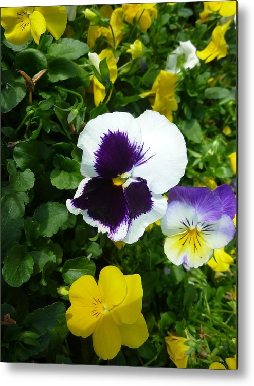 Flower Metal Print featuring the photograph Pansey Purple by Florene Welebny