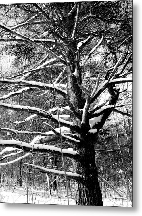 Tree Metal Print featuring the photograph Snowy Limbs by Douglas Pike