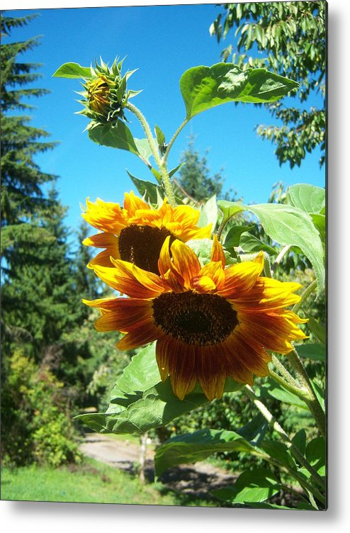 Sun Metal Print featuring the photograph Sunflower 114 by Ken Day