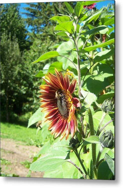 Sun Metal Print featuring the photograph Sunflower 137 by Ken Day