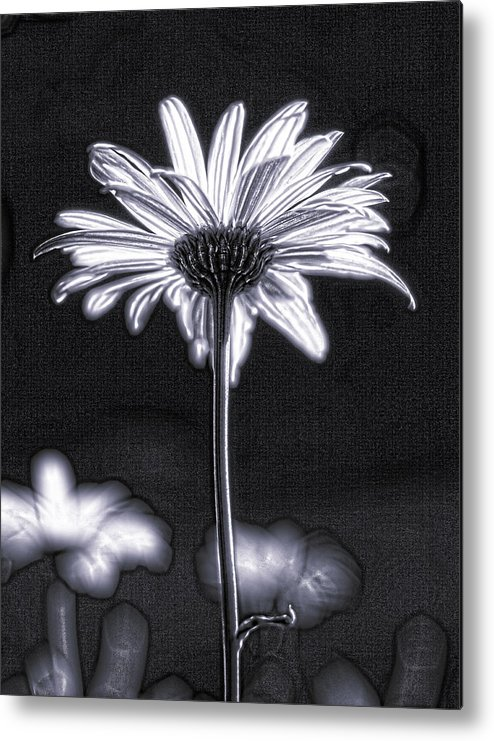 Black & White Metal Print featuring the photograph Daisy by Tony Cordoza