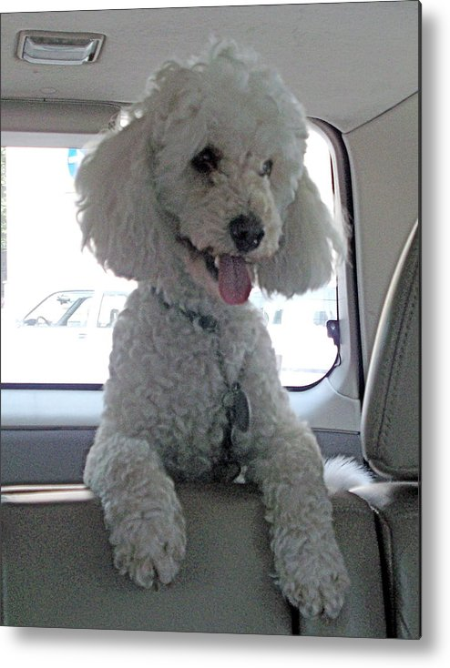 Poodle Metal Print featuring the photograph Sit Lilo Sit by Marina Owens