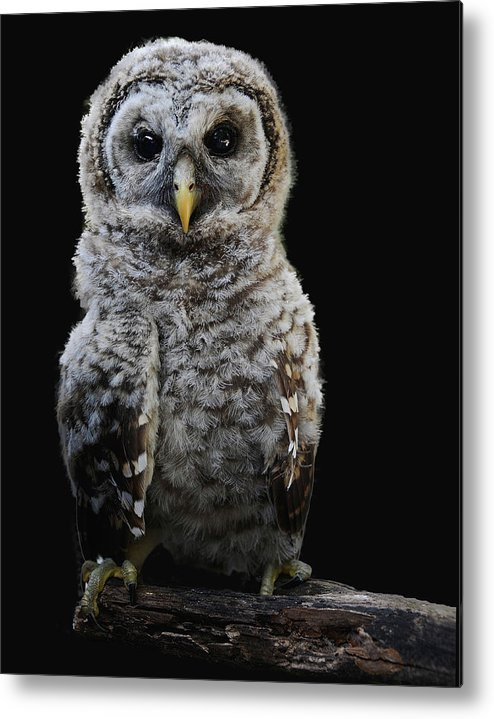 Metal Print featuring the photograph Barred Owl Baby -4 by Keith Lovejoy