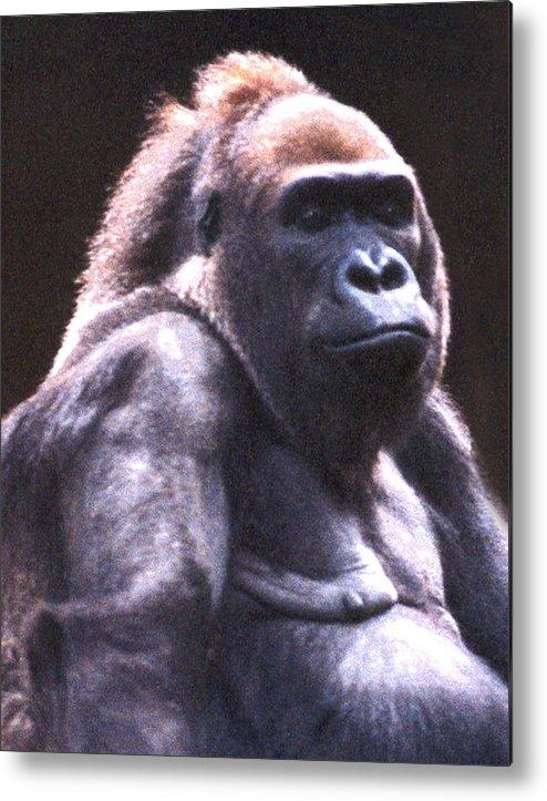Gorilla Metal Print featuring the photograph Gorilla by Steve Karol