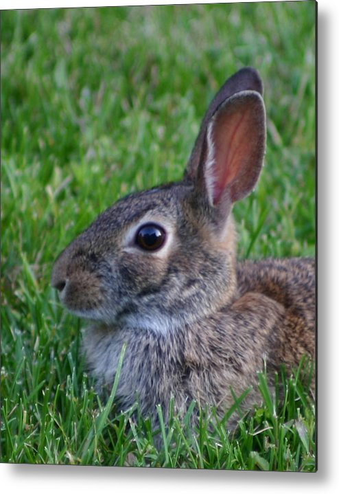 Rabbit Metal Print featuring the photograph Rabbit Passport Photo by Robert E Alter Reflections of Infinity