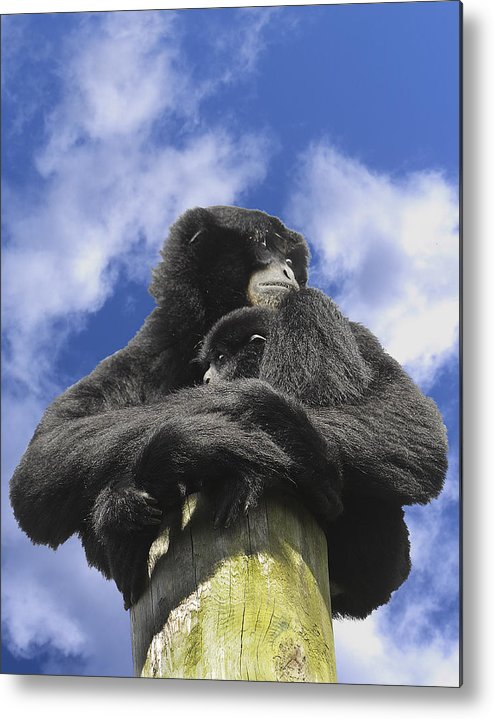 Siamang Metal Print featuring the photograph Siamang Gibbon by Keith Lovejoy