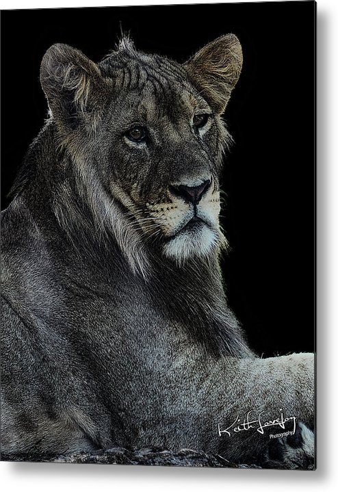 Lion Metal Print featuring the photograph Young Lion by Keith Lovejoy