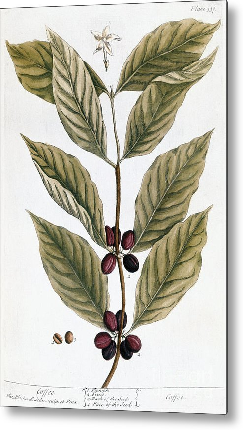 1730s Metal Print featuring the photograph Coffee Plant, 1735 by Granger