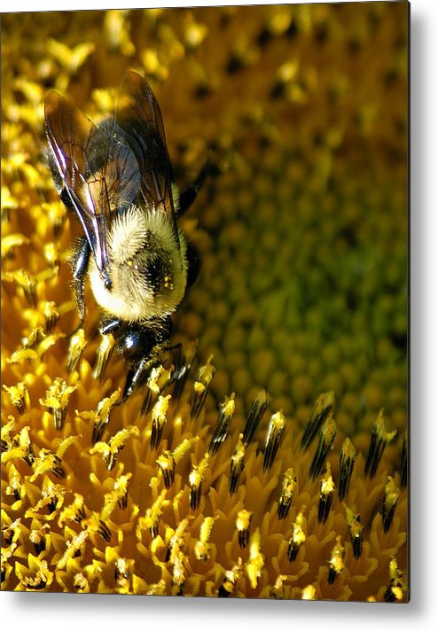 Bees Metal Print featuring the photograph Bee On Sunflower by Bob Guthridge