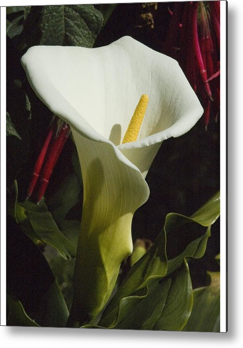 Flower Metal Print featuring the photograph Calla Lily by Jerry Weinstein