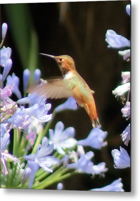 Hummingbird Metal Print featuring the photograph In Flight by Ellen Lerner ODonnell