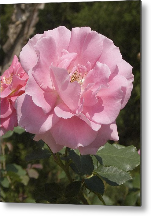 Rose Metal Print featuring the photograph Perfect Rose by Charles Ridgway