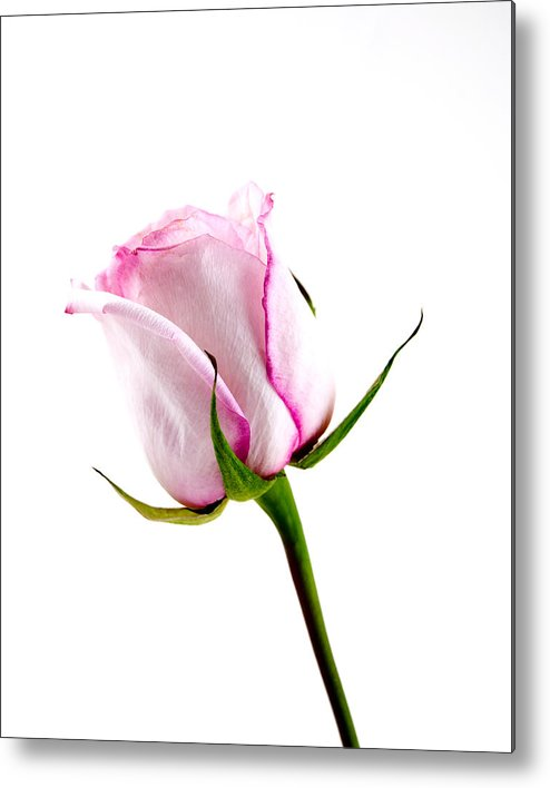 Pink Metal Print featuring the photograph Pink Rose by William Haney