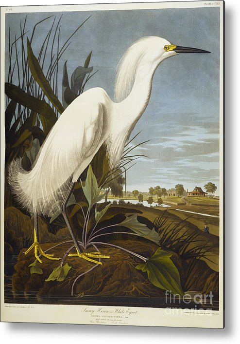 Snowy Heron Or White Egret / Snowy Egret (egretta Thula) Plate Ccxlii From 'the Birds Of America' (aquatint & Engraving With Hand-colouring) By John James Audubon (1785-1851) Metal Print featuring the drawing Snowy Heron by John James Audubon