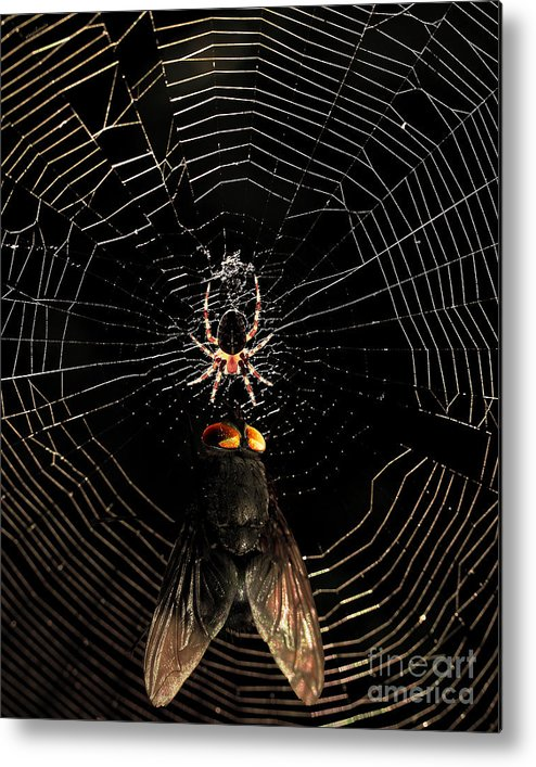 Spider Metal Print featuring the photograph The Spider And The Fly by Wingsdomain Art and Photography