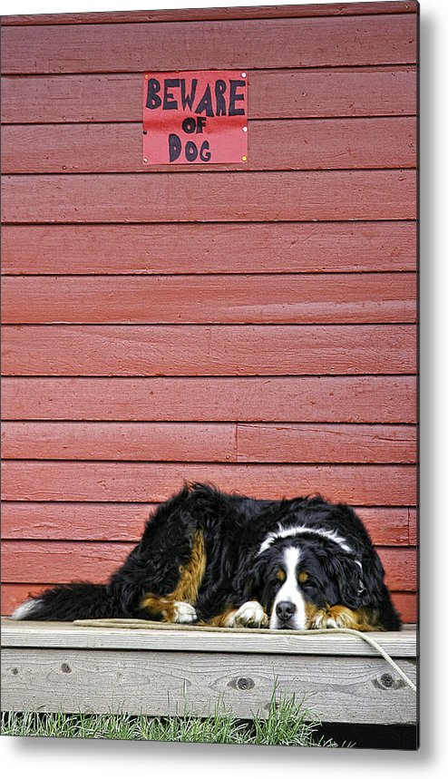 Dog Metal Print featuring the photograph Bernese Mountain Dog Alertly Guarding Home. by Fred J Lord