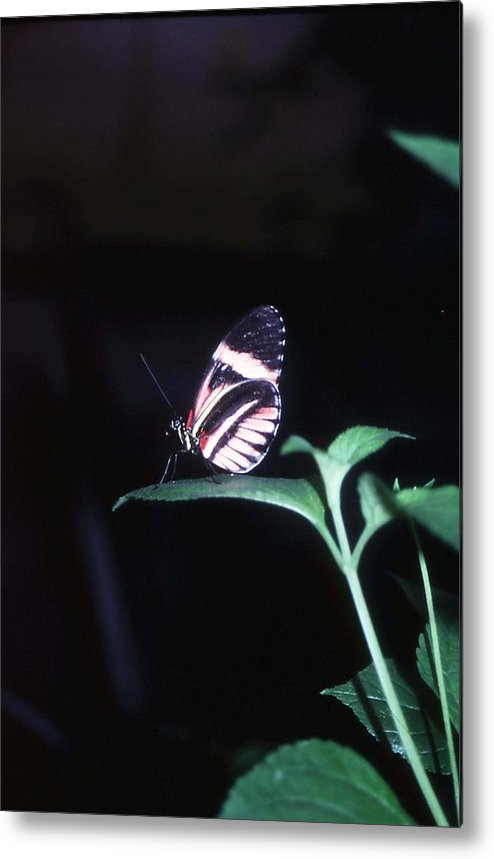 Nature Metal Print featuring the photograph Butterfly Portrait by John Power