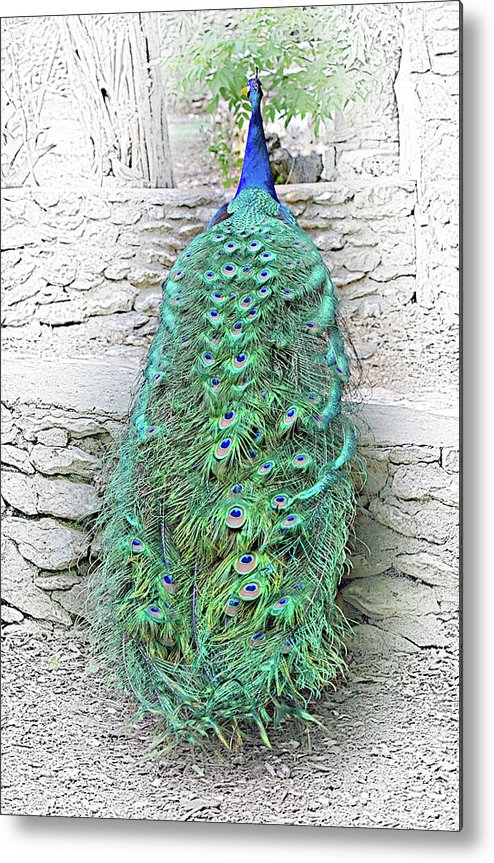 Wildlife Metal Print featuring the photograph Peacock Fluffy Tail Color Sketch by Linda Phelps