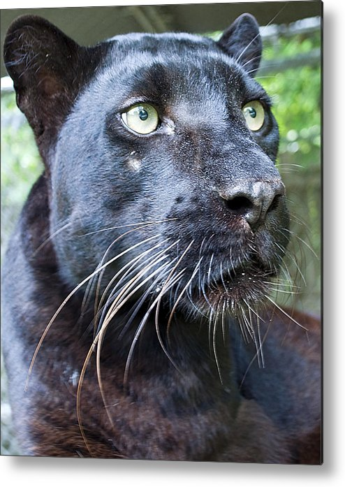 Panther Metal Print featuring the photograph Black Is Beautiful by Kenneth Albin