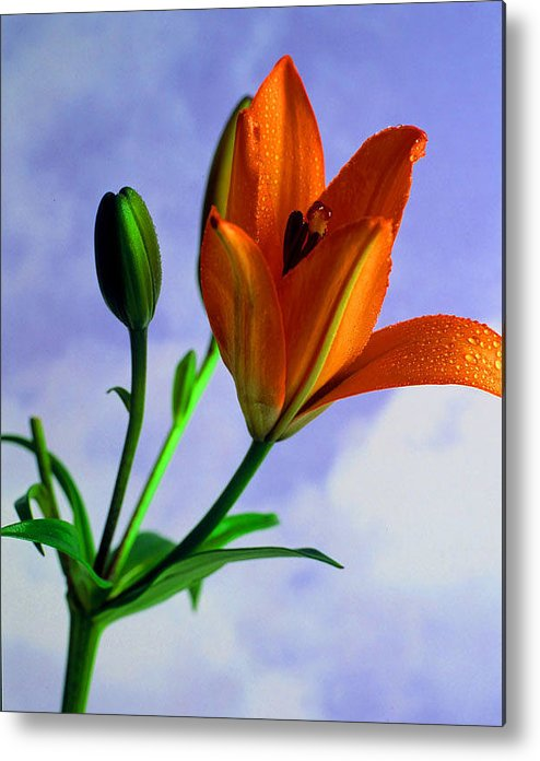 Flower Metal Print featuring the photograph Morning Bloom by Dennis Hammer