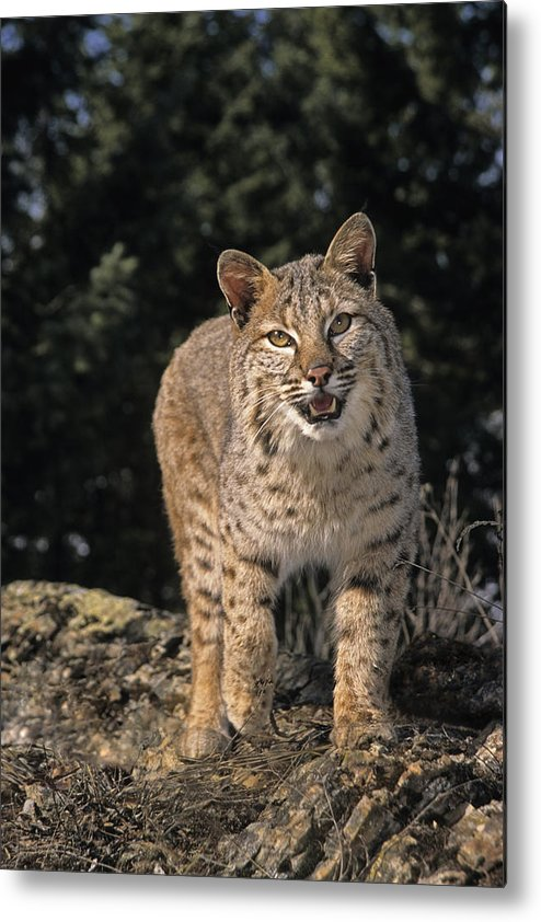Bobcats Metal Print featuring the photograph G&r.grambo Mm-00006-00275, Bobcat On by Rebecca Grambo