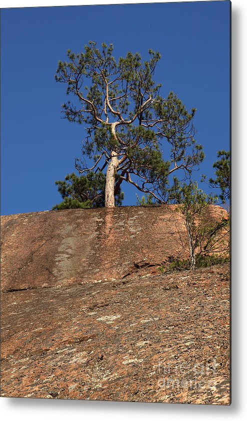 Granite Bedrock Metal Print featuring the photograph Red Pine Tree by Ted Kinsman