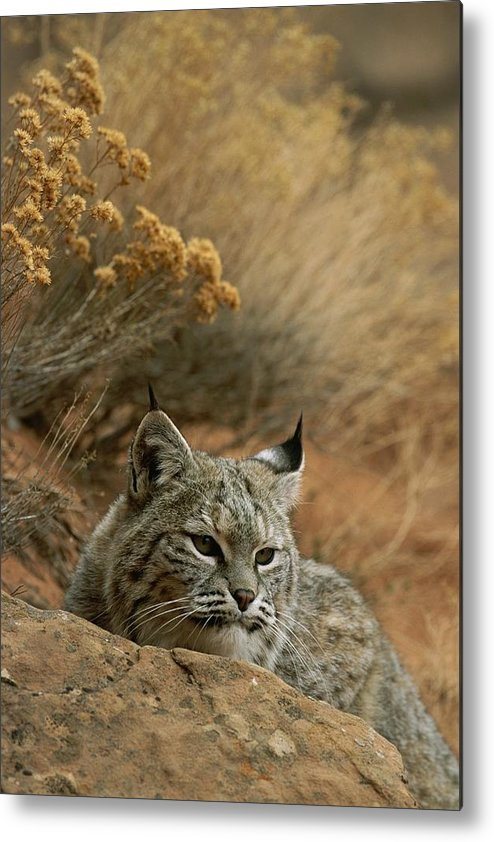 Animals Metal Print featuring the photograph A Bobcat by Norbert Rosing