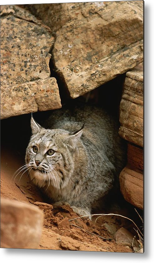 Animals Metal Print featuring the photograph A Bobcat Pokes Out From Its Alcove by Norbert Rosing