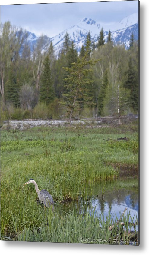Egret Metal Print featuring the photograph Wading On Breakfast by Charles Warren